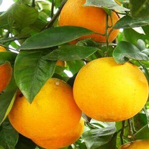 апельсин-верна-оптом-доставка-по-россии-min