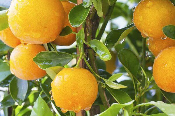 апельсин-гамлин-оптом-доставка-по-россии-min