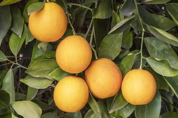 апельсин-салустиана-оптом-доставка-по-россии-min