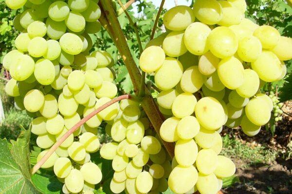 виноград-августин-оптом-доставка-по-россии-min