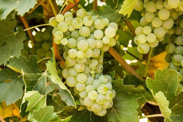 виноград-адагай-оптом-доставка-по-россии-min
