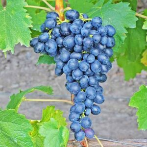 виноград-аттика-оптом-доставка-по-россии-min