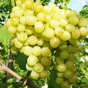 виноград-восторг-оптом-доставка-по-россии-min