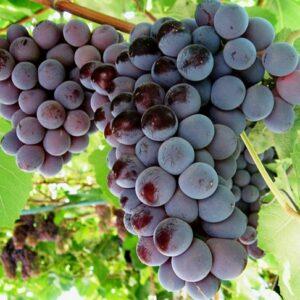виноград-кардинал-оптом-доставка-по-россии-min