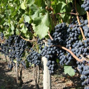 виноград-молдова-купить