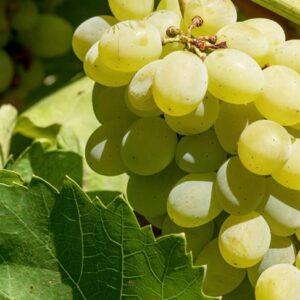 виноград-настя-оптом-доставка-по-россии-min