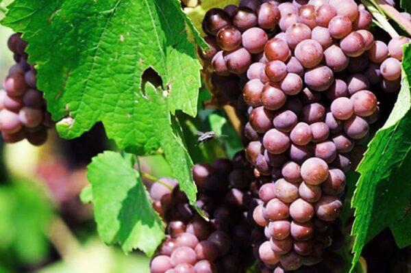 виноград-тайфи-оптом-доставка-по-россии-min