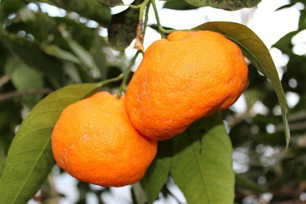 мандарин-сочинский-оптом-доставка-по-россии-min