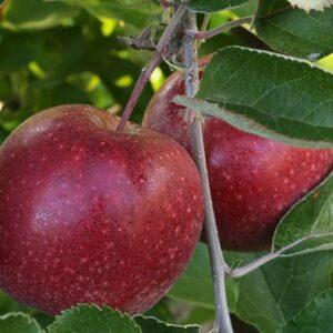 яблоки-Черный-Принц-оптом-доставка-по-россии-восстановлено