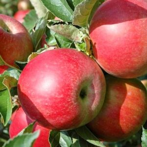 яблоки-айдаред-оптом-доставка-по-россии