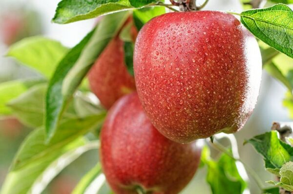 яблоки-бреберн-оптом-доставка-по-россии