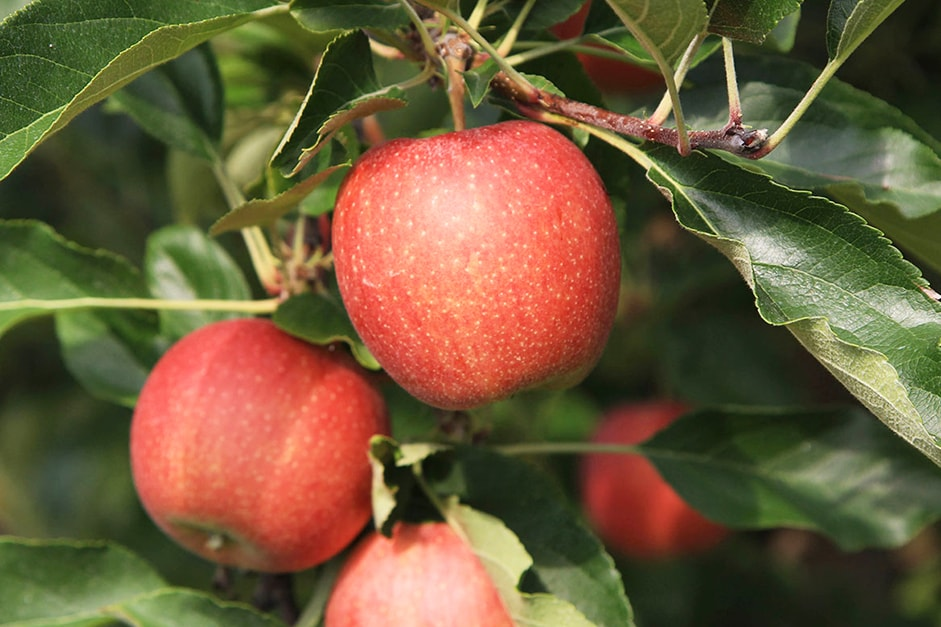 яблоки-гала-оптом-доставка-по-россии