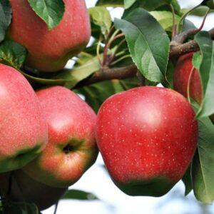 яблоки-глостер-оптом-доставка-по-россии