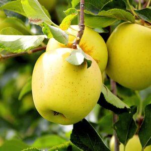 яблоки-голден-делишес-оптом-доставка-по-россии