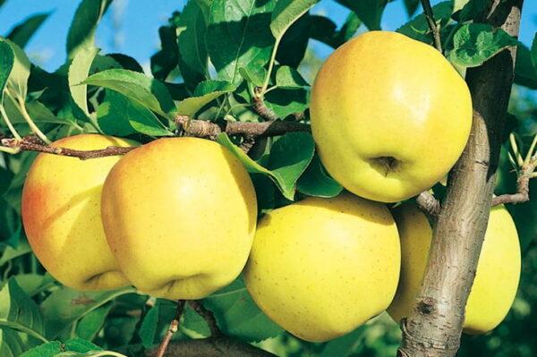 яблоки-голден-оптом-доставка-по-россии