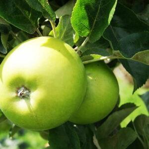 яблоки-гренни-смит-оптом-доставка-по-россии