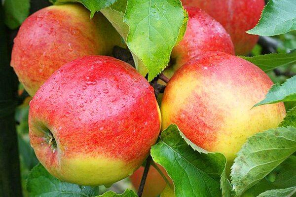 яблоки-джонагоред-оптом-доставка-по-россии-min