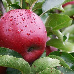 яблоки-джонапринц-оптом-доставка-по-россии