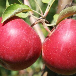 яблоки-джонатан-оптом-доставка-по-россии