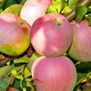 яблоки-либерти-оптом-доставка-по-россии