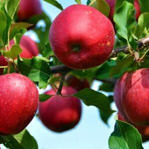 яблоки-моди-оптом-доставка-по-россии