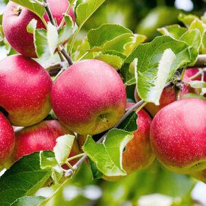 яблоки-оптом-доставка-по-россии