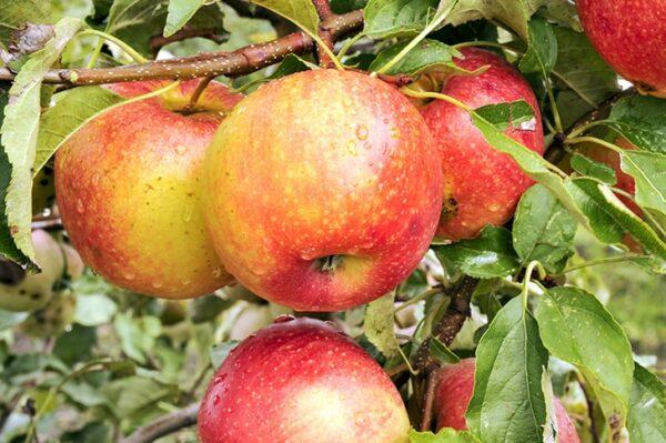 яблоки-пинова-оптом-доставка-по-россии-min