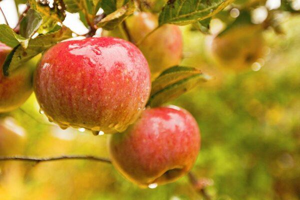 яблоки-прима-оптом-доставка-по-россии