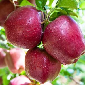 яблоки-ред-делишес-оптом-доставка-по-россии