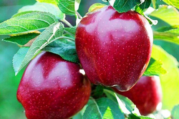 яблоки-ред-чиф-оптом-доставка-по-россии