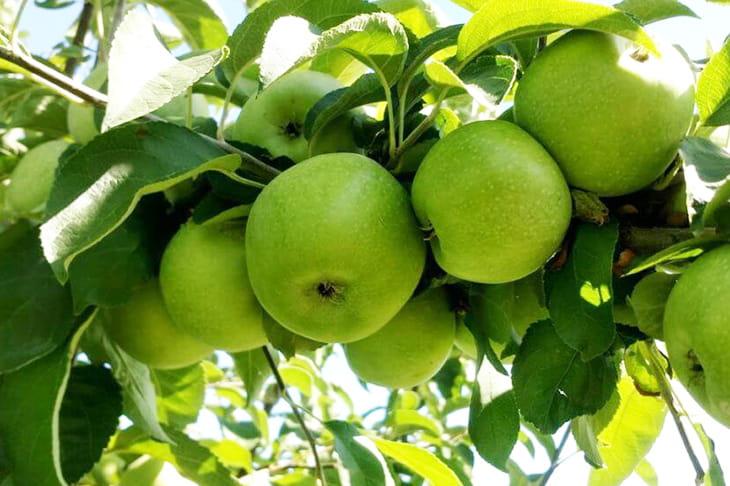 яблоки-симиренко-оптом-доставка-по-россии