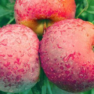 яблоки-флорина-оптом-доставка-по-россии