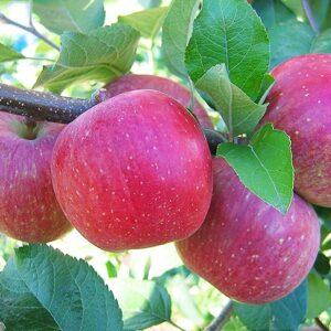 яблоки-фуджи-оптом-доставка-по-россии
