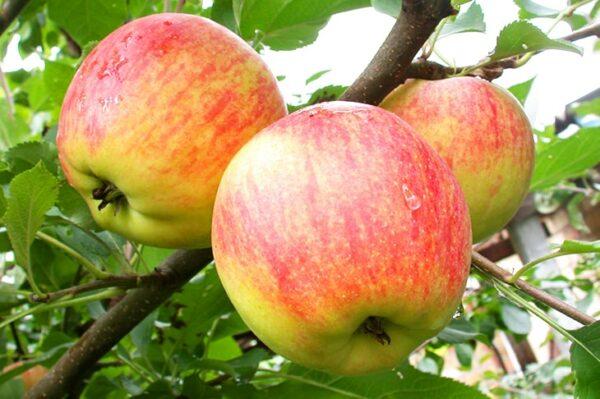 яблоки-чемпион-оптом-доставка-по-россии