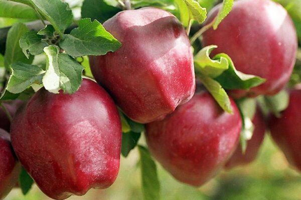 яблоки-cтаркримсон-оптом-доставка-по-россии