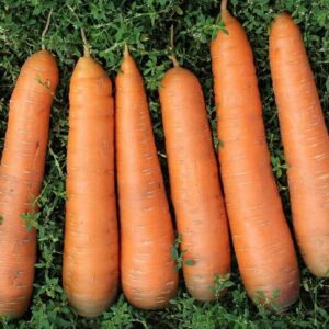 морковь-канада-оптом-от-производителя