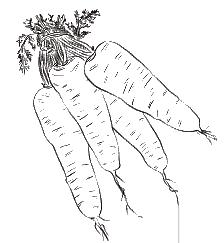 морковь-оптом-от-производителя