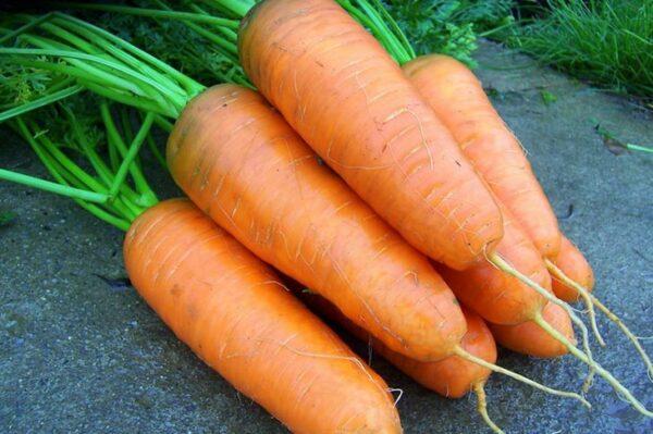 морковь-шантане-оптом-от-производителя
