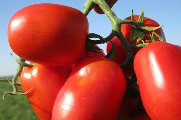 томаты-хайнц-оптом-от-производителя