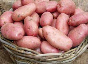 картофель-ред-леди