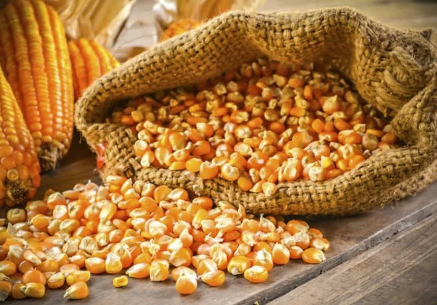 кукуруза-кормовая