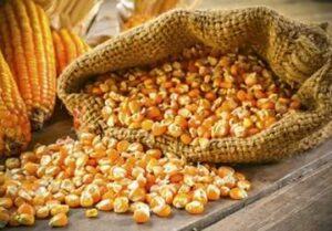 кукуруза-кормовая_360x250
