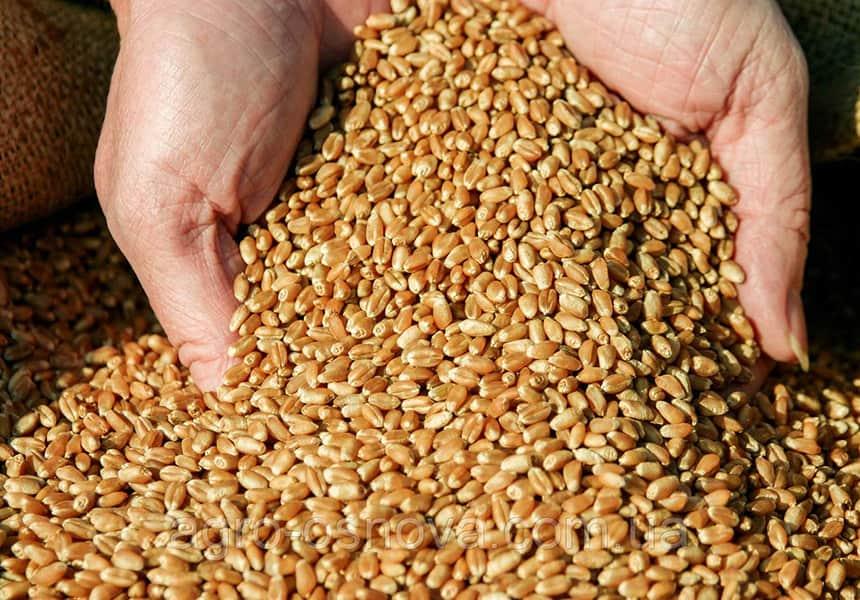 пшеница-кормовая