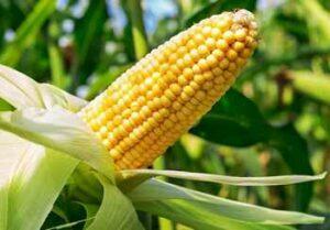 семена-кукурузы-оптом