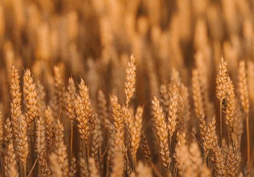 семена-пшеницы-оптом